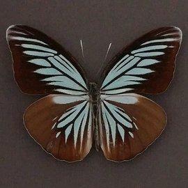 Danaidae Valeria (Pareronia) argolis argolis f. radenoides F A1 Indonesia