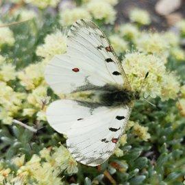 Papilionidae Parnassius phoebus smintheus M A1- Canada