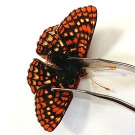 Nymphalidae Euphaedryas anicia anicia PAIR A1 Canada