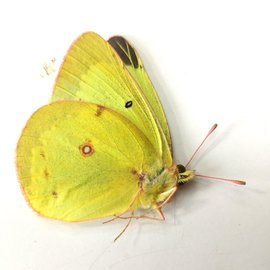 Pieridae Colias philodice eriphyle M A1- Canada