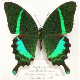 Papilionidae Papilio crino M A2 Sri Lanka