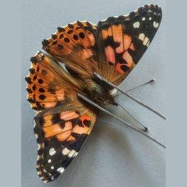 Nymphalidae Vanessa cardui F A1- Canada