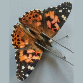Nymphalidae Vanessa cardui M A1- Canada