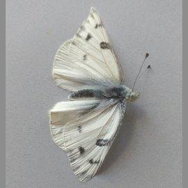 Pieridae Pontia occidentalis occidentalis M A2 Canada