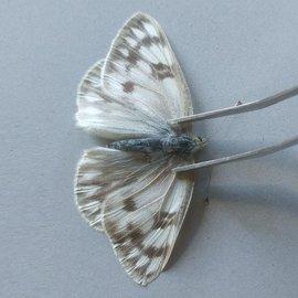 Pieridae Pontia occidentalis occidentalis F A1- Canada