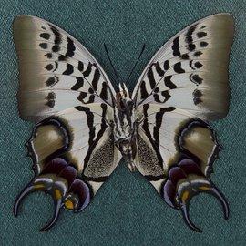 Nymphalidae Polyura dehaani dehaani M A1 Indonesia