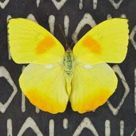 Pieridae Phoebus philea F A1 Bolivia