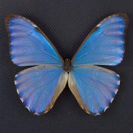 Morphidae Morpho aurora aurora M A1 Bolivia