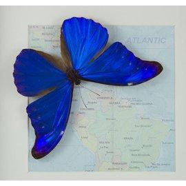Morphidae Morpho rhetenor rhetenor M A1 Guyana