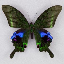 Papilionidae Papilio arcturus arcturus M A1 China