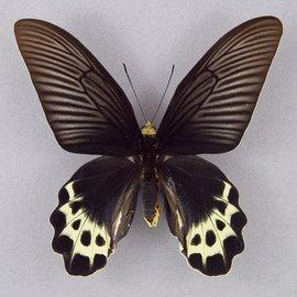 Papilionidae Atrophaneura priapus priapus F A1 Indonesia