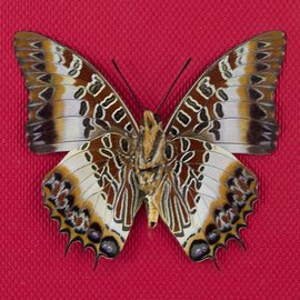 Nymphalidae Charaxes pollux F A1- RCA