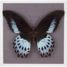 Papilionidae Papilio polymnestor polymnestor M A1- India