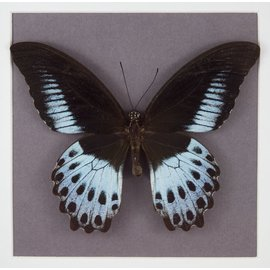 Papilionidae Papilio polymnestor polymnestor M A1/A1- India