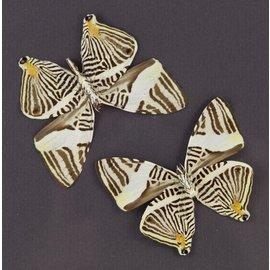 Nymphalidae Colobura dirce dirce M A1 Bolivia