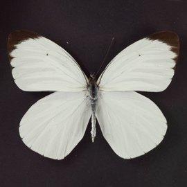 Pieridae Ascia bunia M A1 Peru