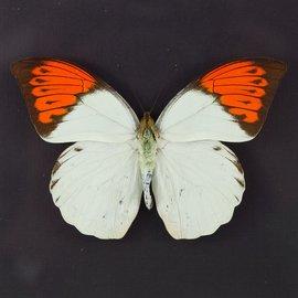 Pieridae Hebomia glaucippe aturia M A1 Thailand