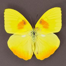 Pieridae Phoebus philea M A1 Peru