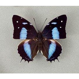 Nymphalidae Baeotus (Megistanis) japetus M A1 Peru