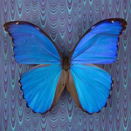 Butterflies Morpho didius - 200M - A1 Peru