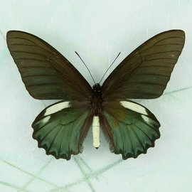 Papilionidae Battus belus cochabamba M A1 Peru