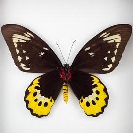 Ornithoptera and Trogonoptera Ornithoptera goliath samson (joycei) PAIR A1 Indonesia