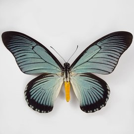 Papilionidae Papilio zalmoxis M A1 RCA