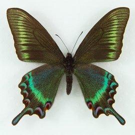 Papilionidae Papilio maacki tuthanus M A1 Japan