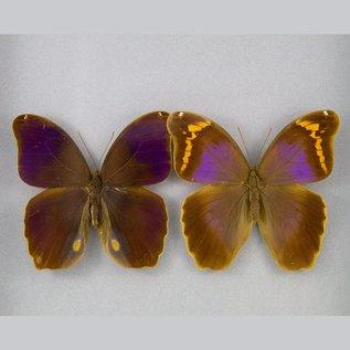 Brassolidae Eryphannis reveesi PAIR A1