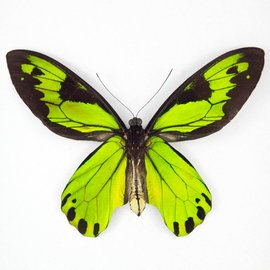 Ornithoptera and Trogonoptera Ornithoptera victoriae regis M A1 PNG