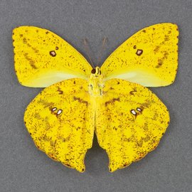 Pieridae Phoebus rurina M A1 Bolivia