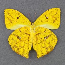 Pieridae Phoebus rurina M A1- Bolivia