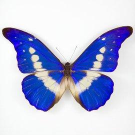 Morphidae Morpho rhetenor helena M A1 Peru