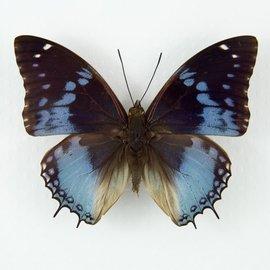 Nymphalidae Charaxes smaragdalis M A1/A1- RCA