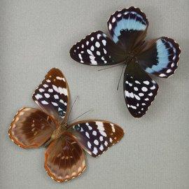 Nymphalidae Lexias satrapes amlana (Bohol) M A1 Philippines