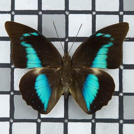 Nymphalidae Prepona (Archeoprepona) camilla M A1 Peru