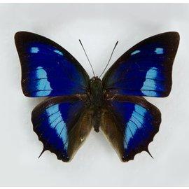 Nymphalidae Anaea (Polygrapha) cyanea M A1 Peru