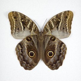 Brassolidae Caligo idomeneus idomenides / C. eurilochus / C. teucer MIX M A1 Peru