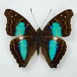 Butterflies Doxocopa cherubima - 5M - A1 Peru