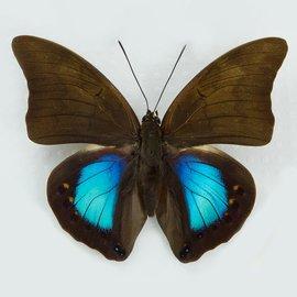 Nymphalidae Prepona (Norepa) chromus M A1 Bolivia