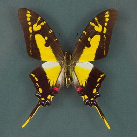 Papilionidae Eurytides thyastes thyastinus M A1 Peru