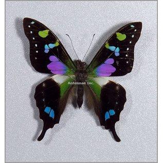 Papilionidae Graphium weiskei M A1 Indonesia