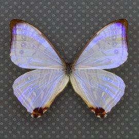 Morphidae Morpho sulkowskyi ockendeni F A1 Peru