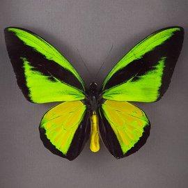 Ornithoptera goliath procus M A1- Indonesia