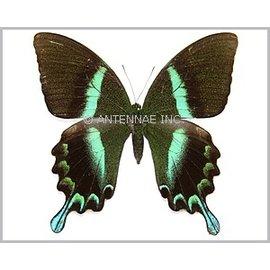 Papilionidae Papilio blumei fruhstoferi F A1 Indonesia