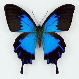Papilionidae Papilio ulysses telegonus M A1 Indonesia Halmahera