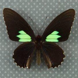 Papilionidae Parides sesostris sesostris M A1 Peru
