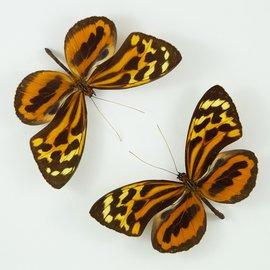 Heliconidae Tithorea harmonia egaensis M A1 Peru