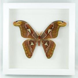 Frame Atlas Moth