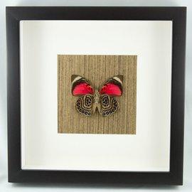 Frame Claudina Butterfly (verso)